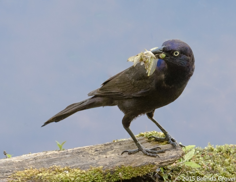 Common Grackle-2