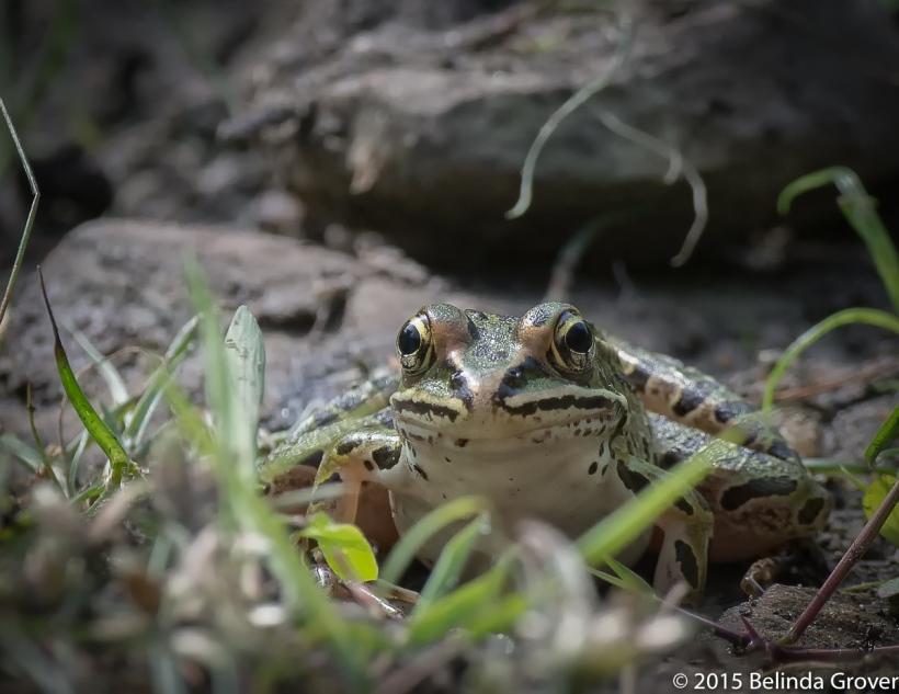 N.Leopard Frog