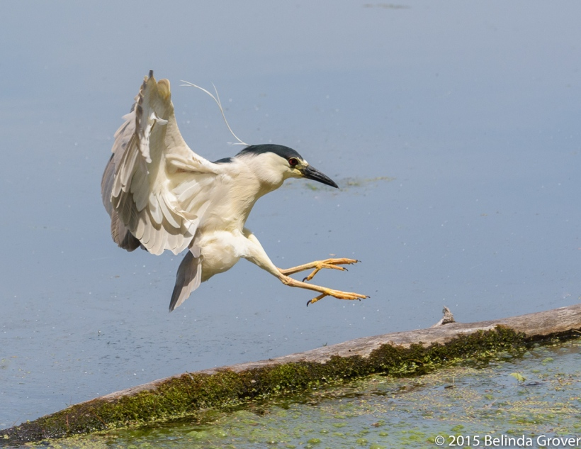 Black-Crowned Night Heron - 2