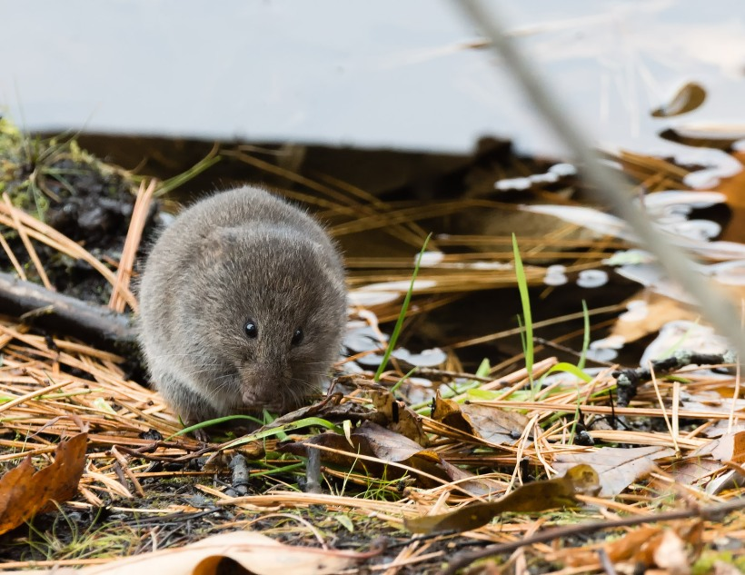 Meadow Vole - Nov 15