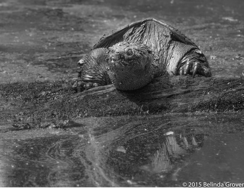 Snapping Turtle - 2