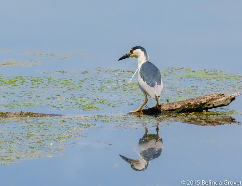 Black Crowned Night Heron 3