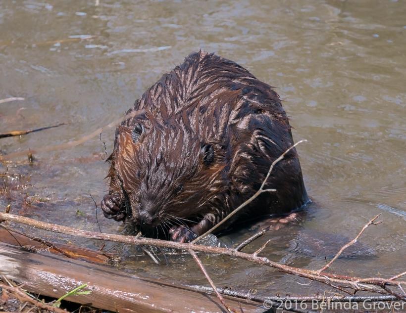 Beaver - 2