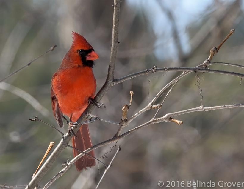 Cardinal - 2