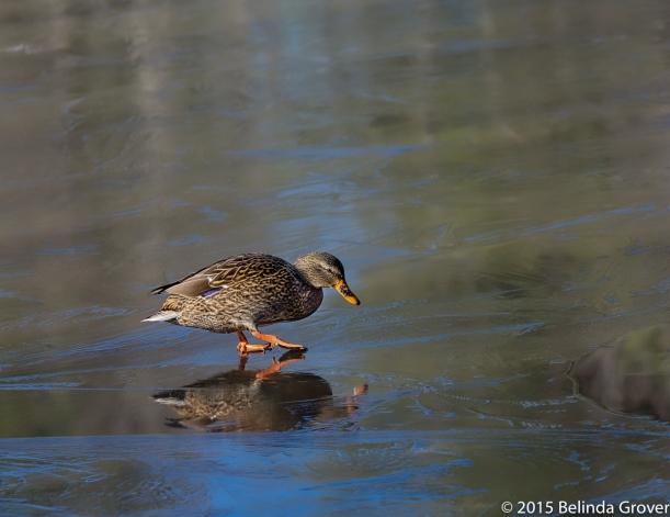 Duck on Ice 1
