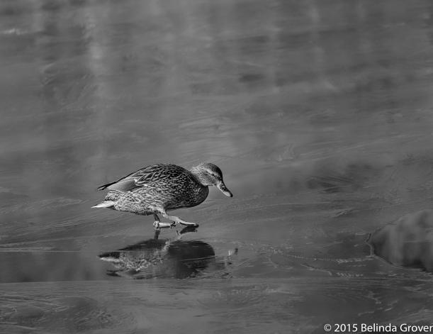 Duck on Ice - 2