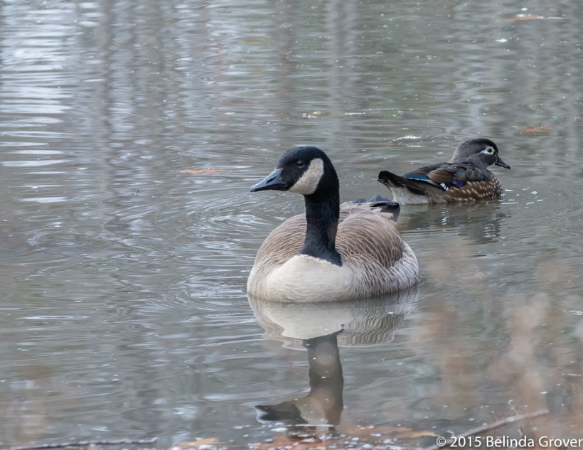 Goose-Woodduck