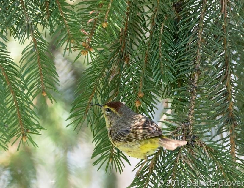 Palm Warbler -2