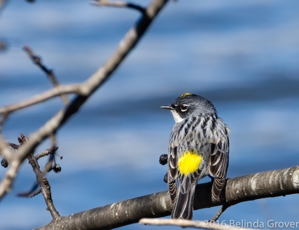Yellow-rumped-1