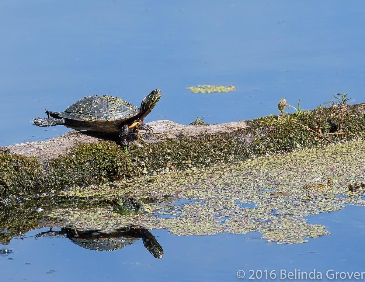 Painted Turtle - 1