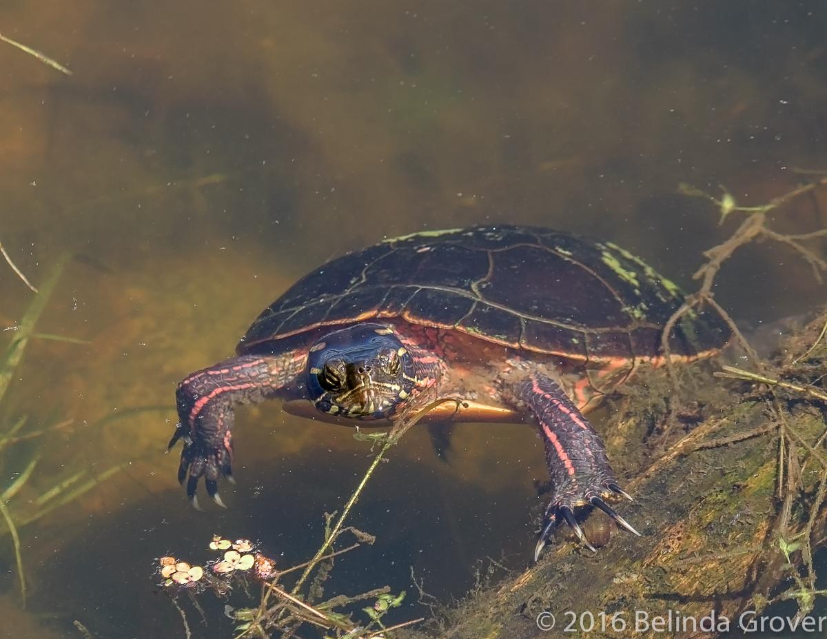 Painted Turtle 1