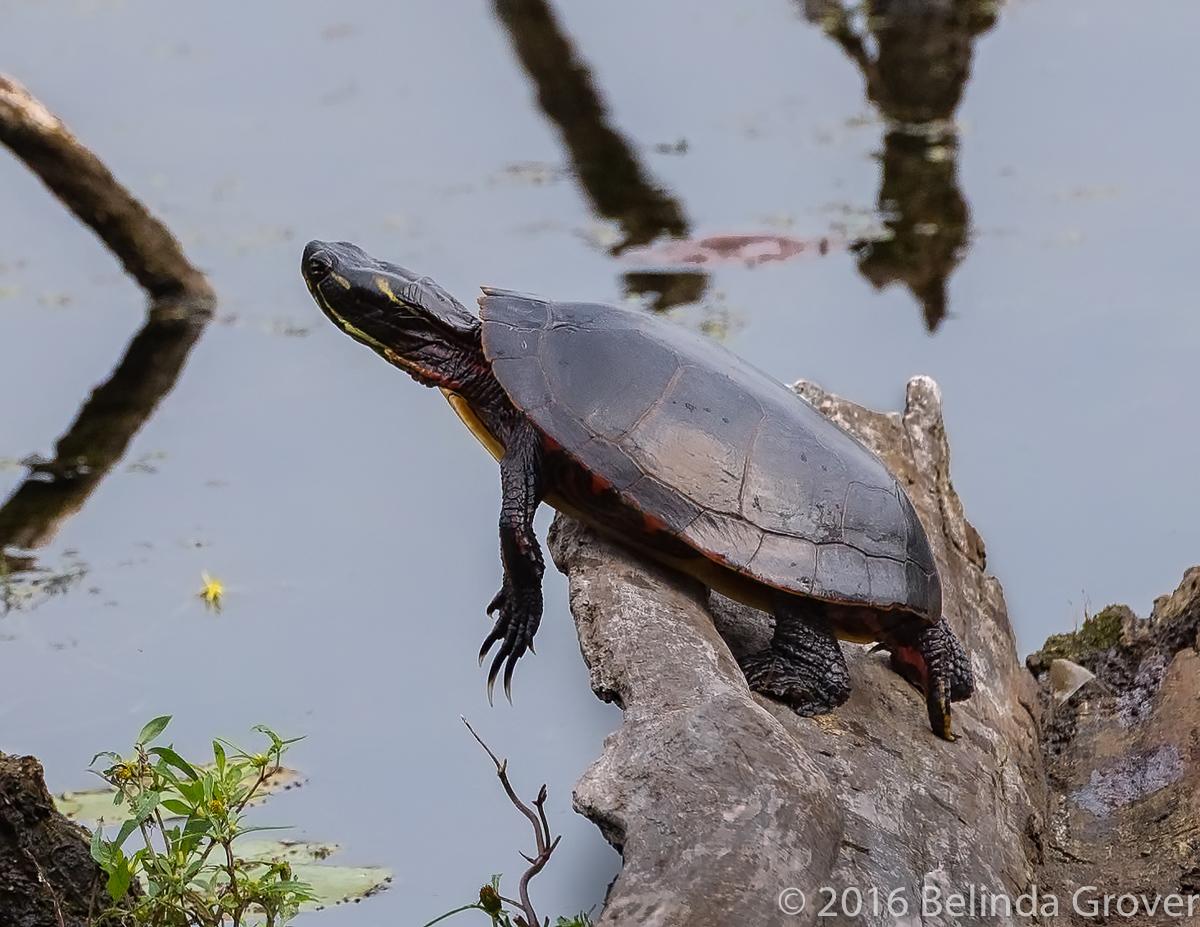 Painted Turtle -2