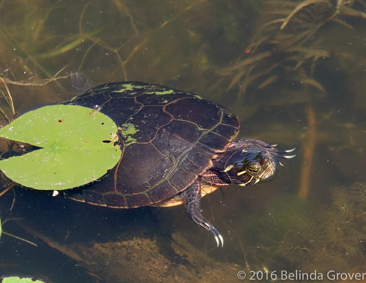 Painted Turtle - 2