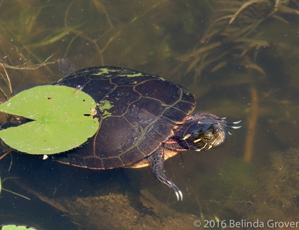 Painted Turtle - 2