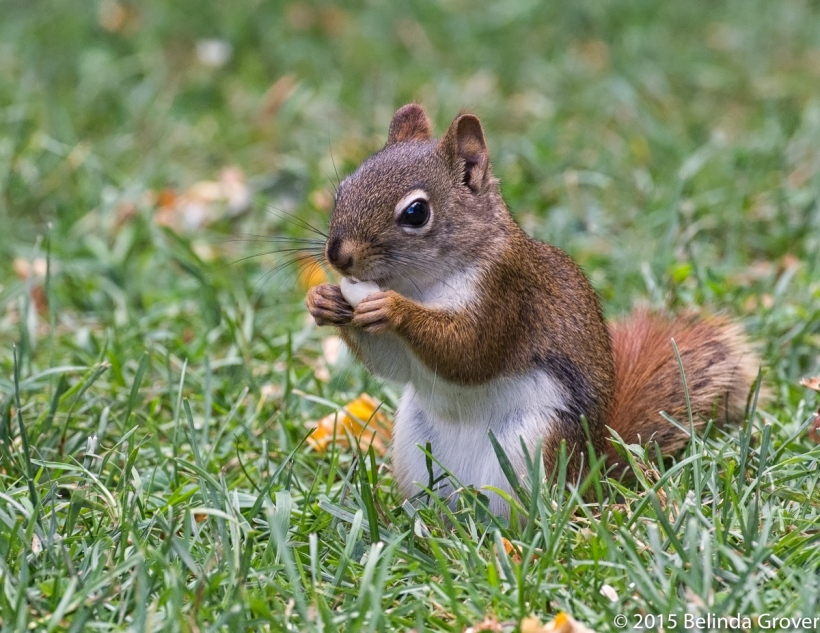 Red Squirrel-1
