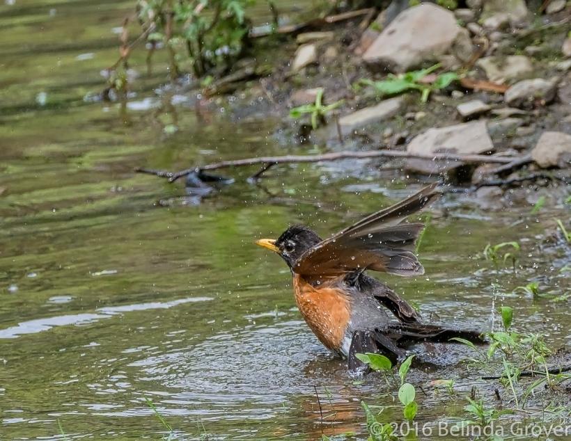 Robin -2_
