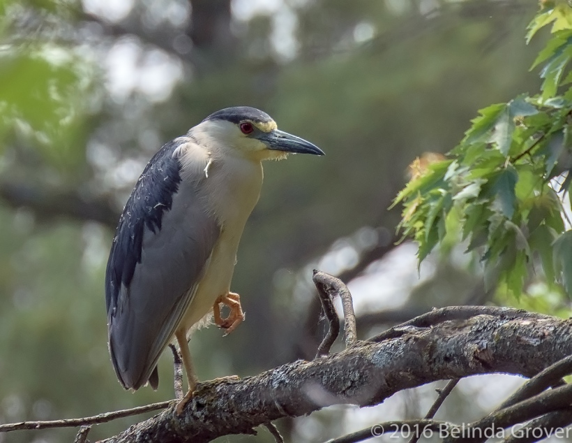 Night Heron -2