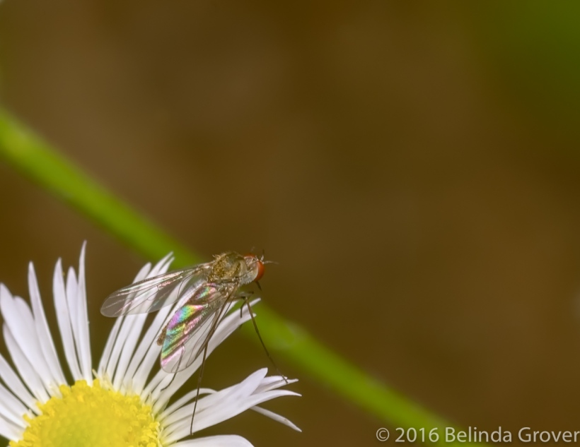 Tiny fly on Fleabane