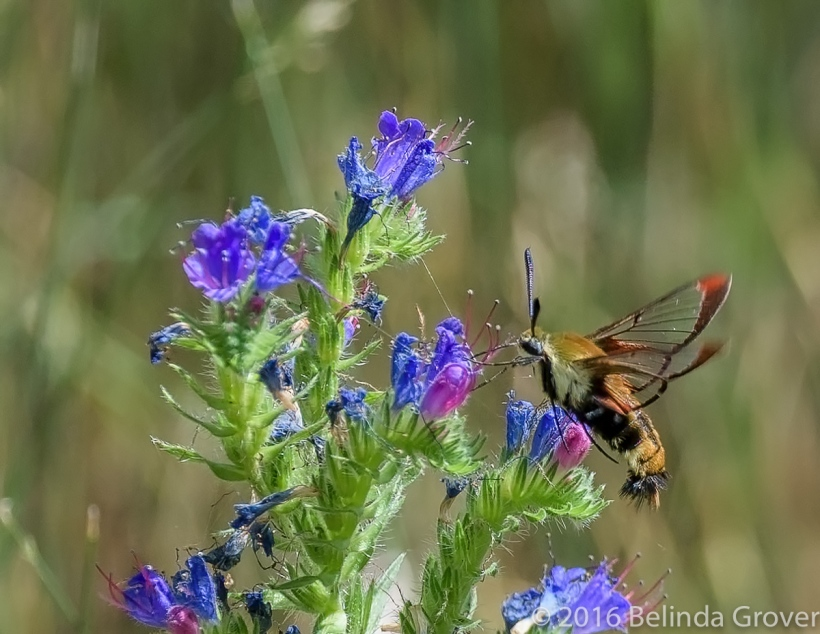 Hummingbird Moth - 1