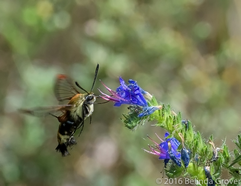 Hummingbird Moth - 2