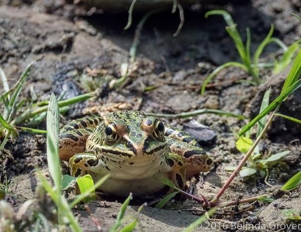 Leopard Frog 1