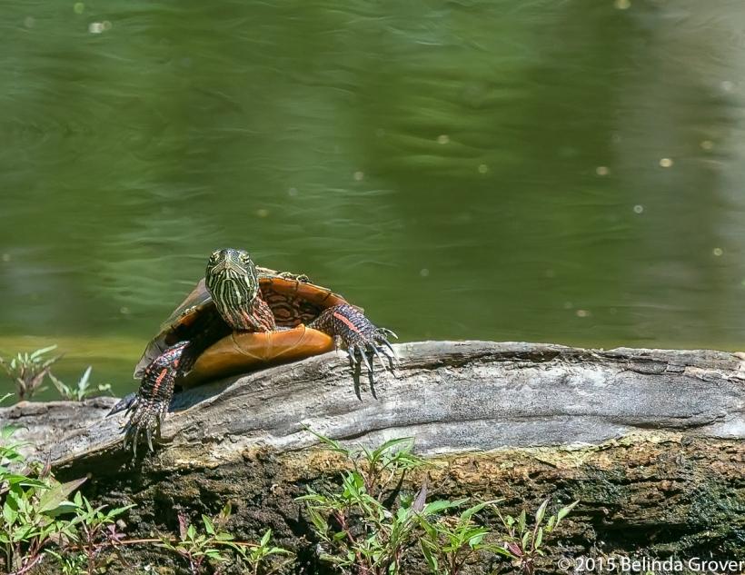 Painted Turtle -3