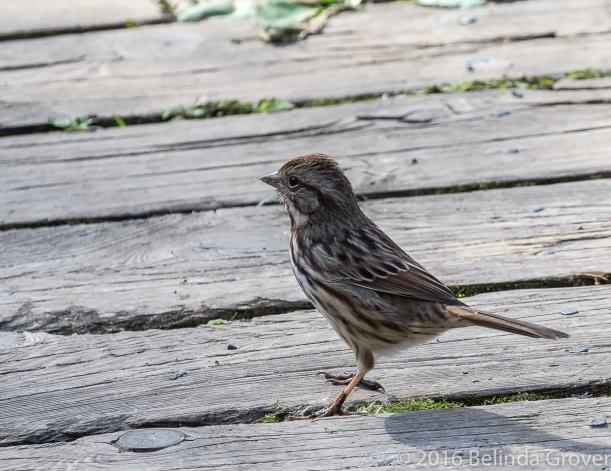 Sparrow - 1