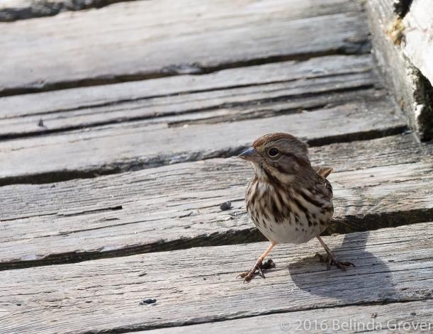 Sparrow - 2