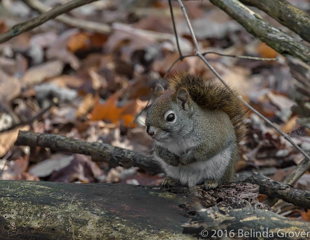 Squirrel -1