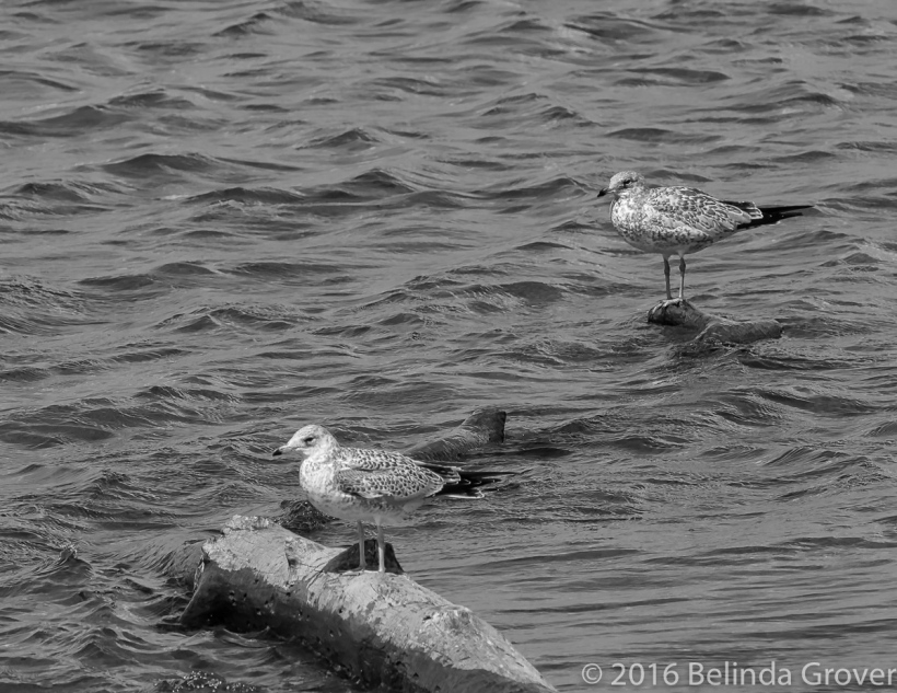 ring-billed-gull-2