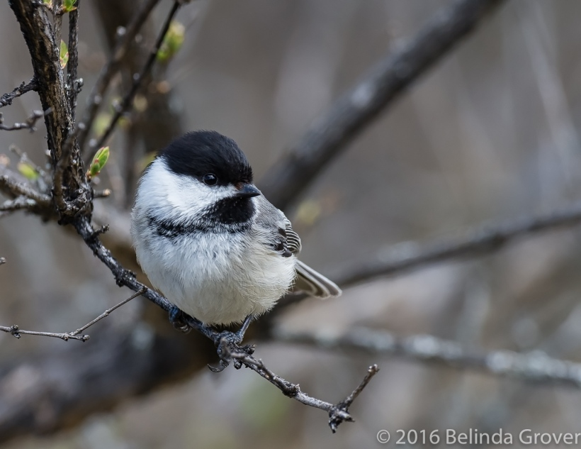 chickadee-may-1