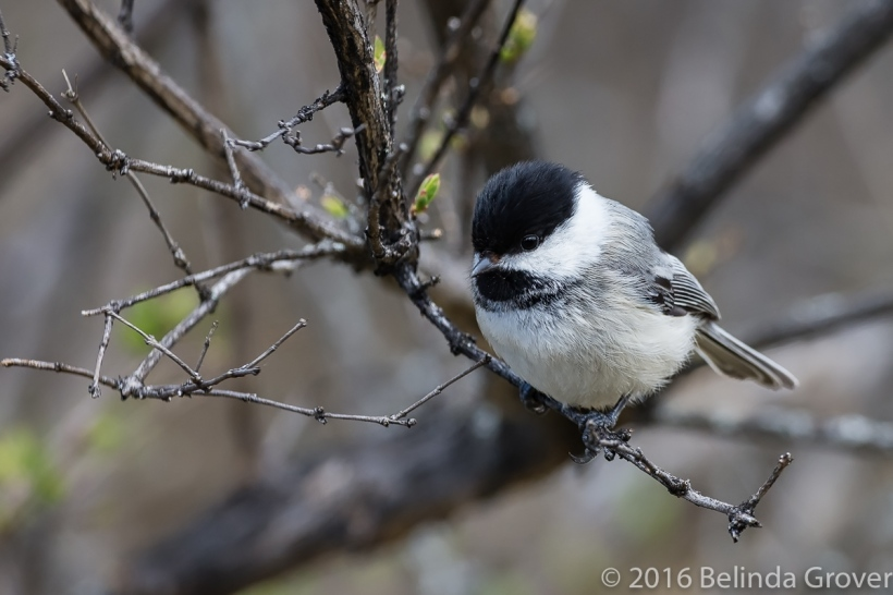 chickadee-may-2