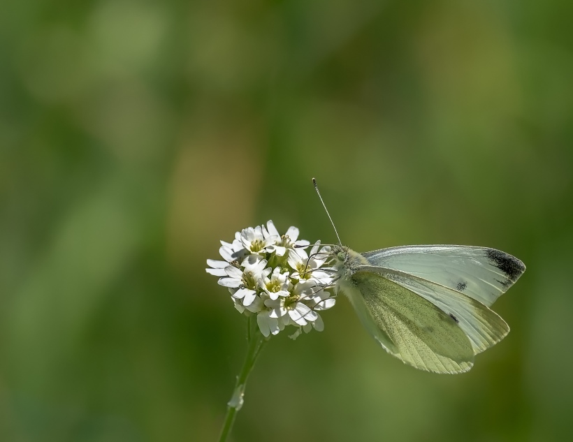 cabbage-white-1