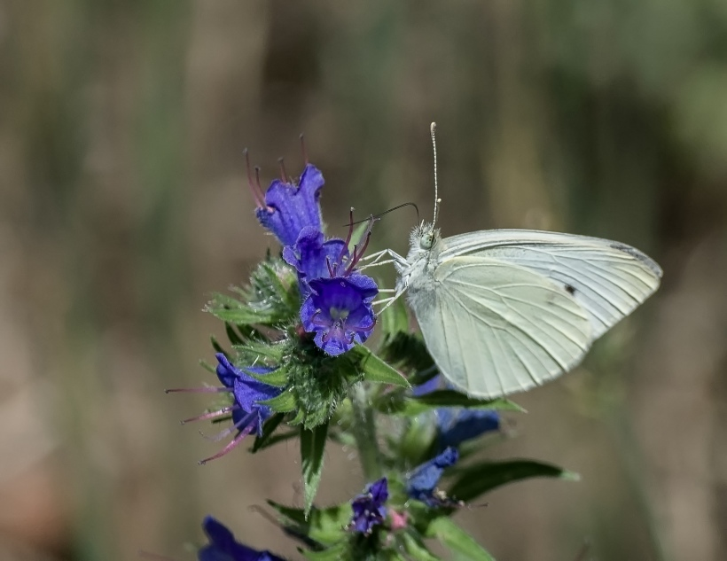 cabbage-white-2