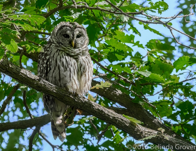 barred-owl-1
