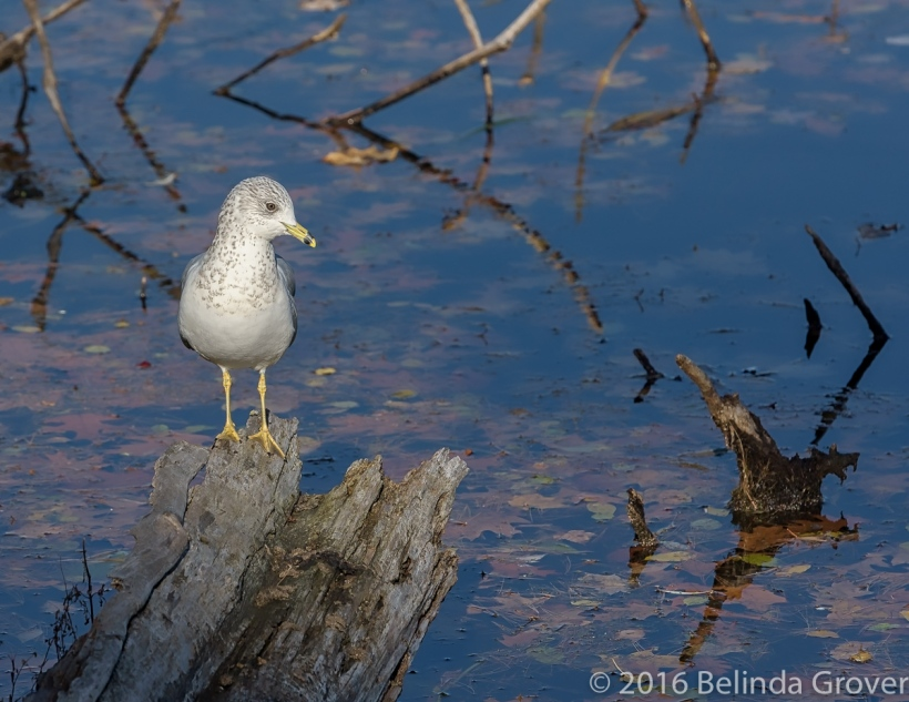 ring-billed-gull-1