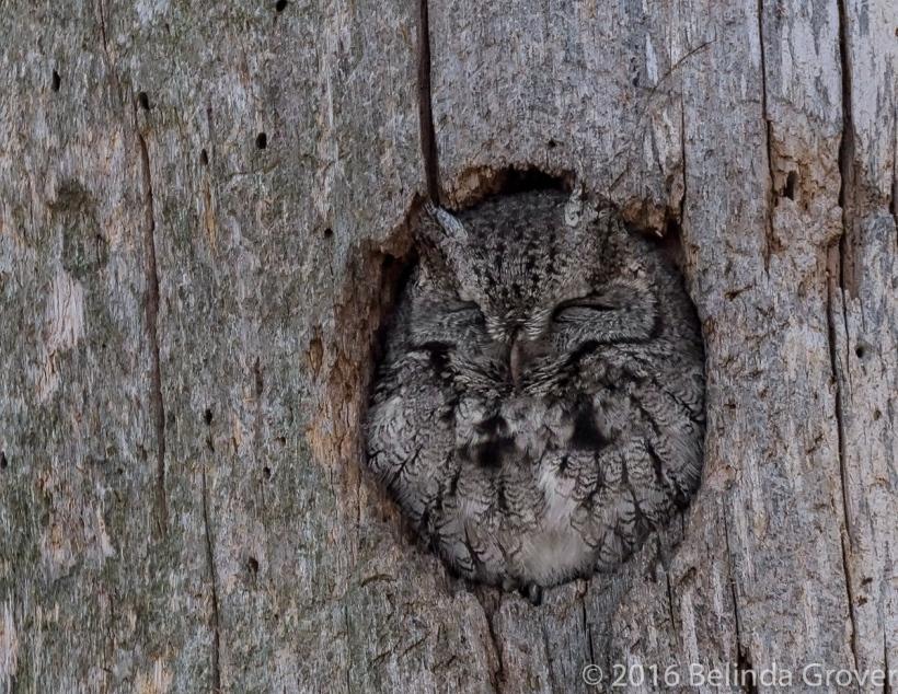 screech-owl-1