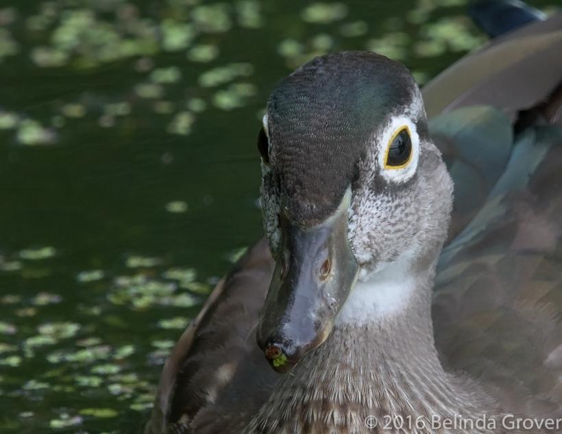 wood-duck-1