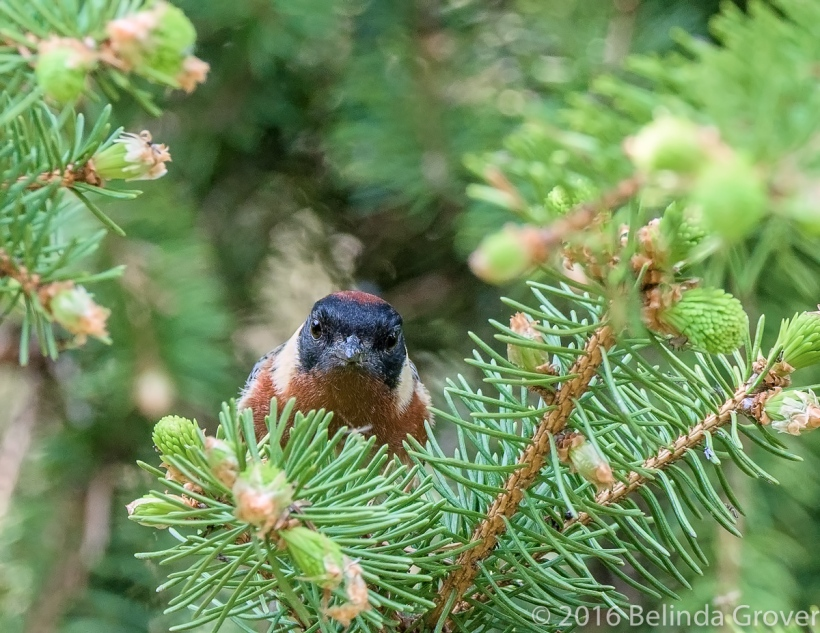 bay-breasted-warbler-2