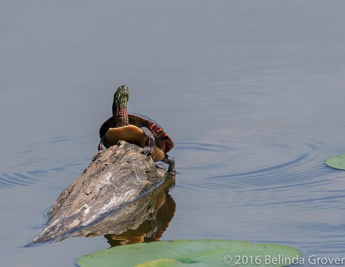 painted-turtle-1