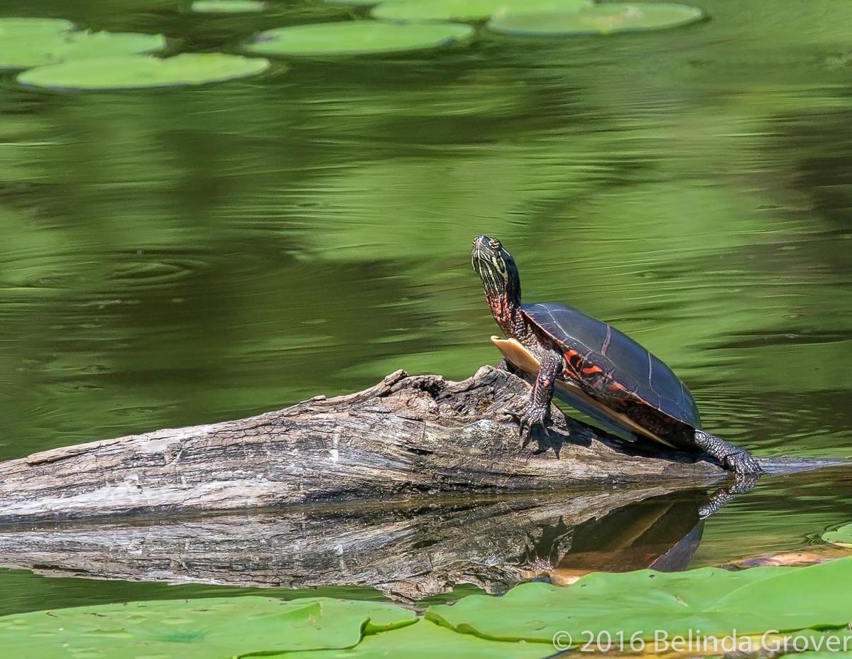 painted-turtle-2