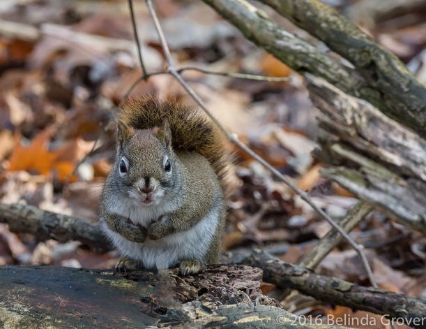 red-squirrel-2