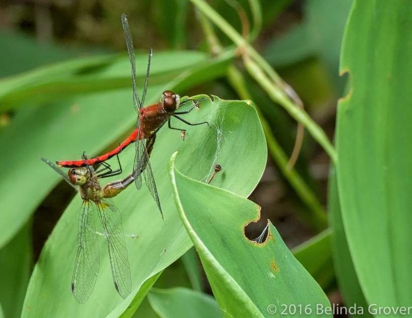 meadowhawk-dragonflies-2