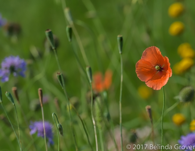 Poppies two photographs belinda grover photography i do like poppies and was happy to see them among the other flowers in the field they have a colour and delicacy that always attracts the eye mightylinksfo