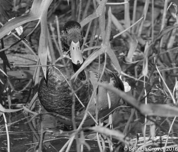 Duck in BW