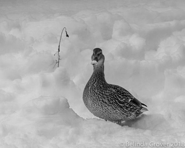 Mallard in Snow-2