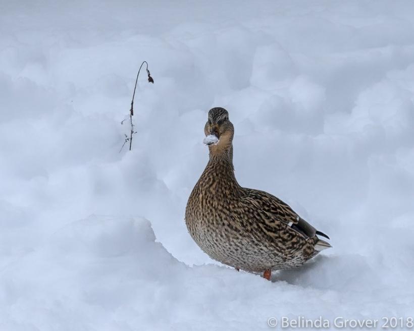 Mallard in Snow