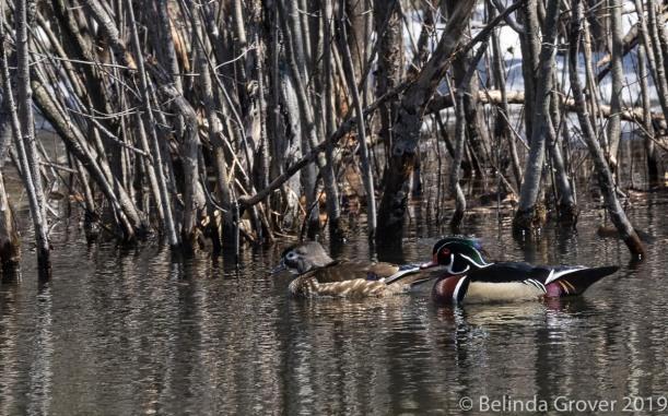 Duck Pairs-2
