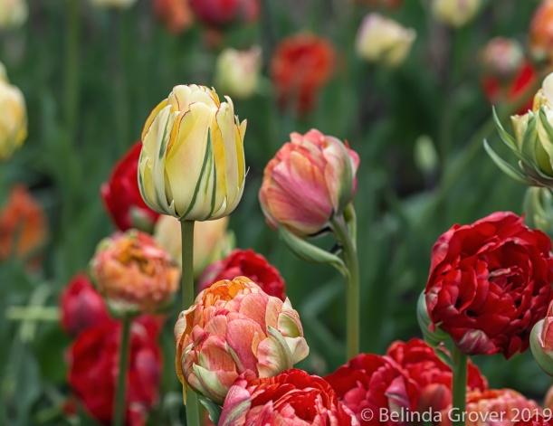 Tulips - Part 1