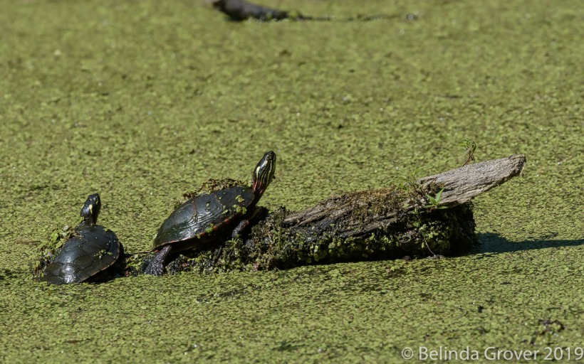 Painted Turtles 1